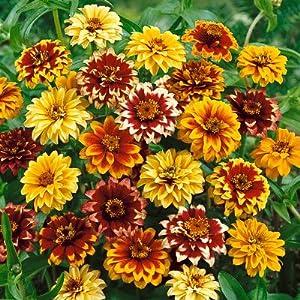 Zinnia Seeds Persian Carpet - 1 LB