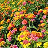 30 Lantana Camara, Spanish Flag , West Indian Lantana , Lava Seeds