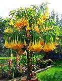 5 Angel's Trumpet Tree Seeds Buy One Get One Free /