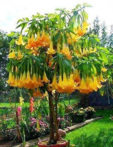 5-angels-trumpet-tree-seeds-buy-one-get-one-free-