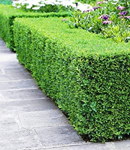 baldur garten buchsbaum hecke 5 pflanzen buxus sempervirens garten. Black Bedroom Furniture Sets. Home Design Ideas