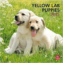 Labrador Retriever Puppies, Yellow 2012 Square Calendar ...