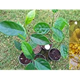 9EzTropical - Jackfruit Plant Tropical Fruit Trees - 1 Feet Tall - Ship in 1 Gal Pot