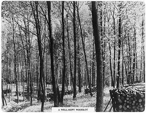 A well-kept woodlot,c1940