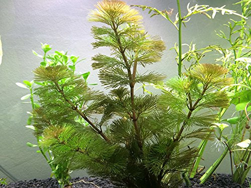 1 live green cabomba plant cabomba caroliniana 6 for Oxygenating plants for a small pond