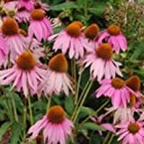 Echinacea Coneflower Purple - 120 Seeds