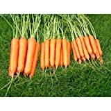 Kings Seeds - Carrot Sweet Candle F1 - Sow Simple Seed Tapes - 300 Seeds
