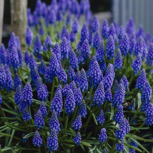 van-zyverden-grape-hyacinths-set-of-50-bulbs-one-size-blue