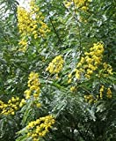 Cassia siamea Kassod 15 Tropical Tree seeds Sunny Yellow Blooms Popcorn Scented Leaves brighten your day summer-fall Container Gardening