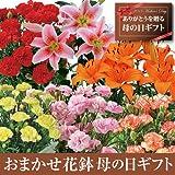 【送料無料!母の日ギフト】赤カーネーション5号鉢【お届5/7-5/12】