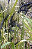 Rare Blue Ethiopian Wheat 10 Seeds -Ornamental & Edible