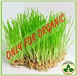 Only for Organic ! Hybrid Wheat Grass Seeds : 1000 Seeds !