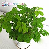 Hot Sales! 30pcs Bashful Grass Seeds Mimosa Pudica Linn, Foliage Mimosa Pudica Sensitive Bonsai Plant Home Garden