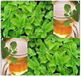 500 LEMON BALM SEEDS Melissa officinialis Attracts BEES&BUTTERFLIES citronellal