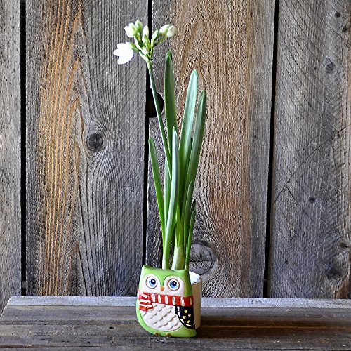 Paperwhite in a Green Winter Owl Container - Adorable Gift - Ships Free!! (Forcing Bulbs Containers compare prices)