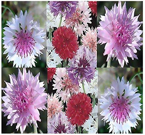 Siam ShoppingCentaurea Cyanus Flower Seeds Cornflower / Bachelor Button Polka Dot Dwarf Mix