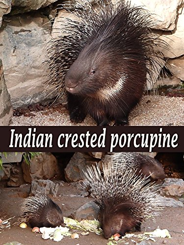 Indian crested porcupine on Amazon Prime Instant Video UK