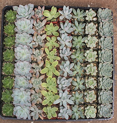 64 of JIIMZ Pastel Succulents great for Wedding Favors, Wall Gardens and Wreaths