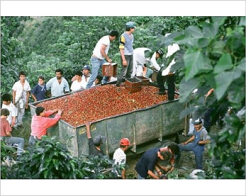 photographic-print-of-loading-harvested-coffee-beans-into-a-trailer-costa-rica