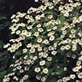 Herb Seeds - Feverfew - 2000 Seeds