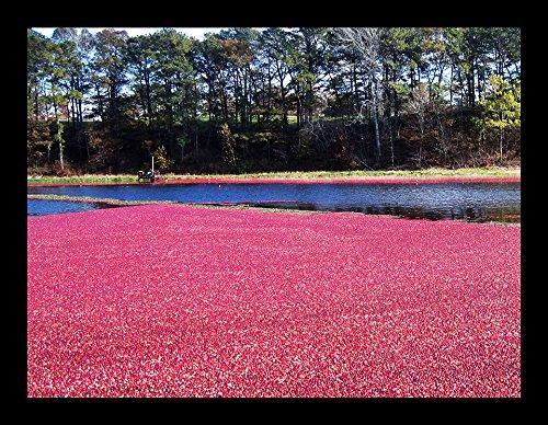"""Cape Cod Cranberry Harvest"" by Joseph Condon"
