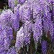 Wisteria Sinensis prolific plant in 3 litre pot with 3' cane.