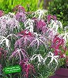 BALDUR-Garten Dianthus 'Dancing Geisha' Nelken, 3 Pflanzen