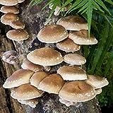 Shiitake Mushroom Mycelium Plug Spawn - 100 Count - Grow Edible Gourmet & Medicinal Shitake Fungi On Trees & Logs