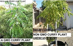 """Curry Leaf Plant ~5"""""""