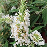 Lo & Behold ® Buddleia x 'Ice Chip' PPAF - Butterfly Bush -4