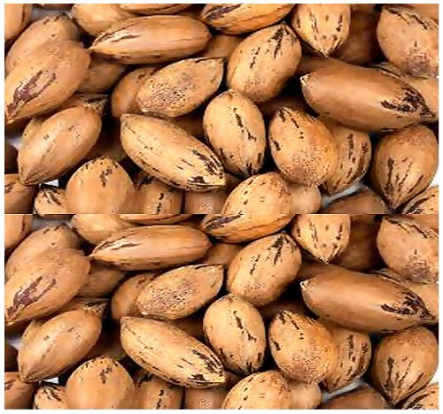 5 X Pecan - Carya Illinoinensis Tree Seeds - Commercial Variety - Cold Hardy To Zone 6 - By Myseeds.Co