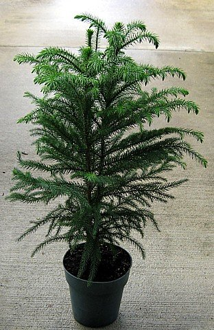 "Norfolk Island Pine - The Indoor Christmas Tree -6"" Pot"