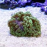 (海水魚 サンゴ)ナガレハナサンゴ グリーン Sサイズ(1個) 本州・四国限定[生体]