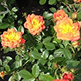 Darling Flame Miniature Climbing Rose - BARE ROOT Rose - Ideal for Planters