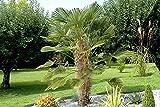 Trachycarpus Wagnerianus 220-240 cm. Frosthärteste Palme der Welt Bis -