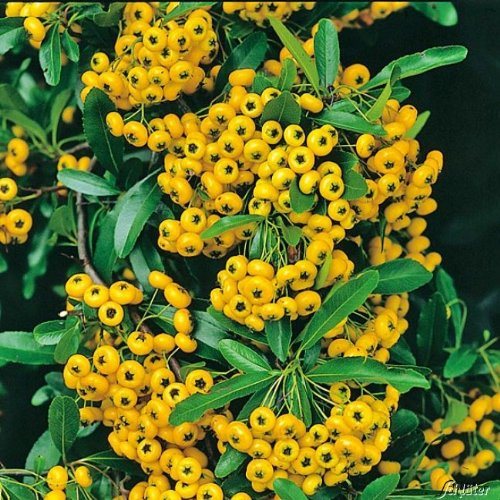 feuerdorn soleil d 39 or pyracantha gelb immergr ne pflanze als sichtschutz hecke heckenpflanze. Black Bedroom Furniture Sets. Home Design Ideas