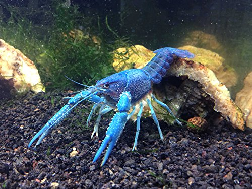 1 Live Electric Blue Crayfish/Freshwater Lobster (3-4″ Young Adult!) – Incredibly Beautiful and Striking! by Aquatic Arts (formerly InvertObsession)