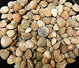 1 Pound of Fossilized Brachiopods - Bulk Fossils by GoldNuggetMiner