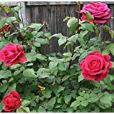 Live Red Rose Plant Red Rose Grafted Plant