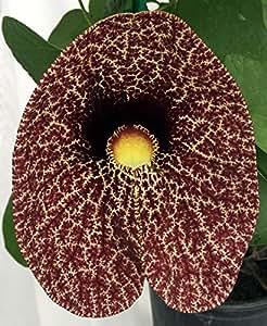 "Rare Giant Dutchman's Pipe Vine Plant - Aristolochia - 4"" Pot"