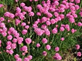 Armeria maritima 'Splendens' / Sea Thrift / Seeds