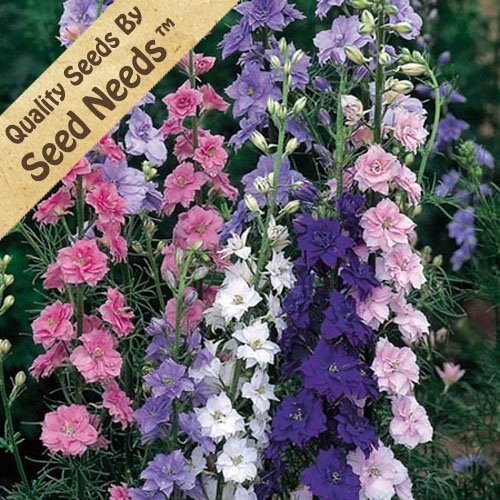 """300 Seeds, Rocket Larkspur """"Mixed Colors"""" (Delphinium consolida) Seeds By Seed Needs"""