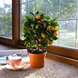 (Mandarin Bs002) 20pcs Edible Fruit Mandarin Bonsai Tree Seeds, Citrus Bonsai Mandarin Orange Seeds