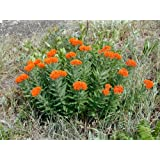 Butterfly Milkweed -Native: Well Established: Container Size: #1