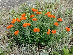 "Butterfly Milkweed- Native: Well Established: Container Size: 5.5"" pot"