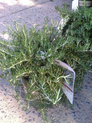 Rosemary Huntington Carpet One Gallon Plant