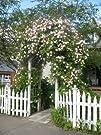 Cecile Brunner rose – rosa good arbor…