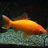 金魚 大姉 エサ用金魚(1匹)生餌 エサ金 餌金 和金