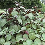 Perilla Purple Zi Su Shisho Seeds (Perilla frutescens) 40+ Heirloom Herb Seeds + FREE Bonus 6 Variety Seed Pack - a $29.95 Value! Packed in FROZEN SEED CAPSULES for Growing Seeds Now or Saving Seeds