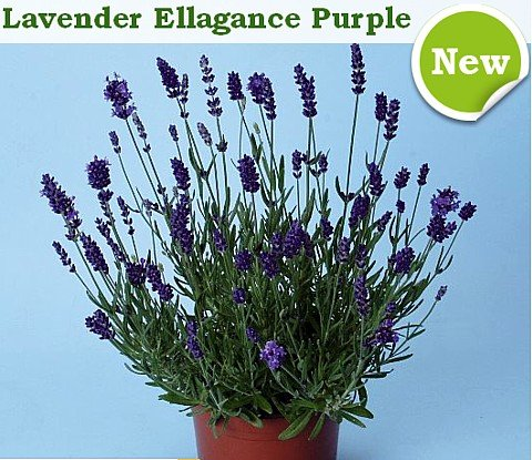 Ellagance Purple Lavender 20 Seed- Blue Flower/Fragrant